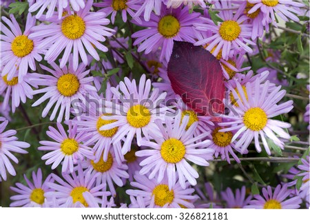Chrysanthemums in autumn. Autumn is the chrysanthemum Kingdom. Fall, and they bloom as if nothing had happened! - stock photo