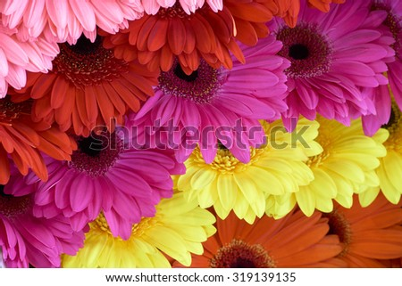 Chrysanthemums of pink, red, violet, yellow and orange color displayed in rows at flower show                            - stock photo