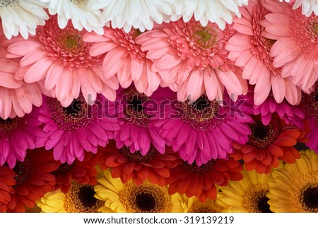 Chrysanthemums of white, pink, red, orange and yellow color displayed in rows at flower show                            - stock photo