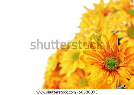 Chrysanthemums with room for text against a white background. Shallow DOF. - stock photo