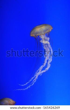 Chrysaora fuscescens jellyfish  - stock photo