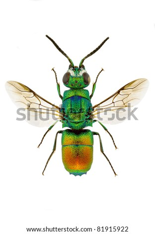 Chrysis taczanovskii (Jewel wasp) isolated on white background.