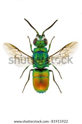 Chrysis taczanovskii (Jewel wasp) isolated on white background. - stock photo