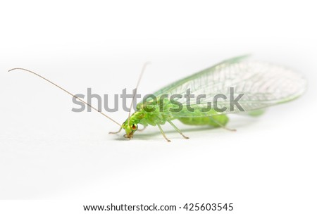 Chrysopidae green lacewing - stock photo