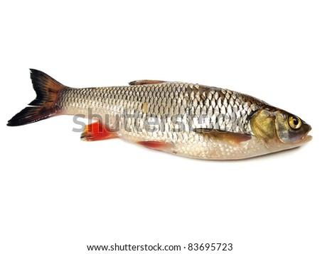 chub (leuciscus cephalus) on a white background - stock photo