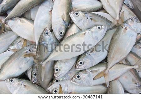 chub mackerel,fresh fish from sea market - stock photo