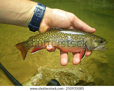 Chubby Brook Trout - stock photo