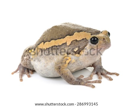Chubby frog on white background - stock photo