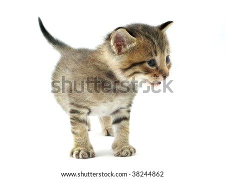 Chubby kitten - stock photo