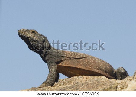 Chuckwalla Lizard in Joshua Tree