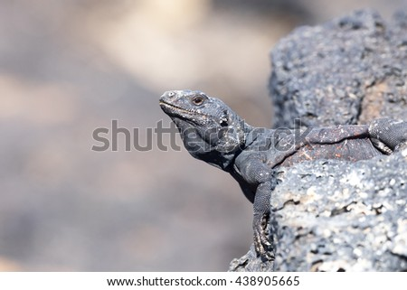 Chuckwalla Lizard sunning on lava rock. - stock photo