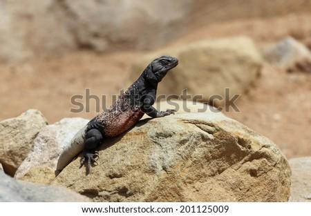 Chuckwalla (Sauromalus ater) in California desert, USA - stock photo
