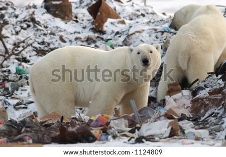 Churchill Northern Manitoba town and surroundings Polar Bear in Garbage - stock photo