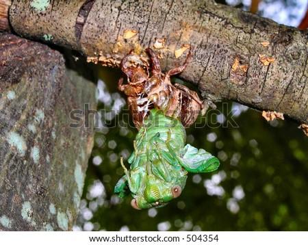 Cicada 2 - stock photo