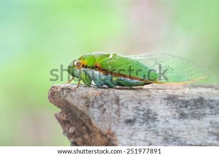 Cicada (Cicadidae), - stock photo