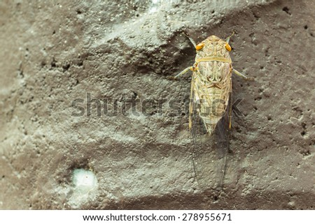 cicada cling on a surface, photographed close-up - stock photo