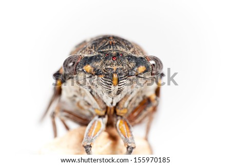 cicada frontal closeup, isolated on white background - stock photo