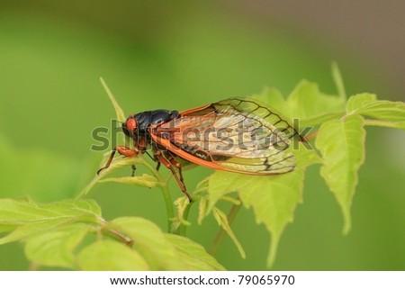 Cicada in Missouri. - stock photo
