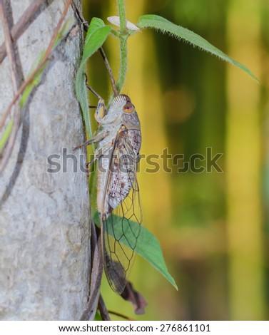 cicada in nature,Thailand - stock photo