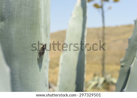 Cicada insect on an agave americana leave in a desertic landscape - stock photo