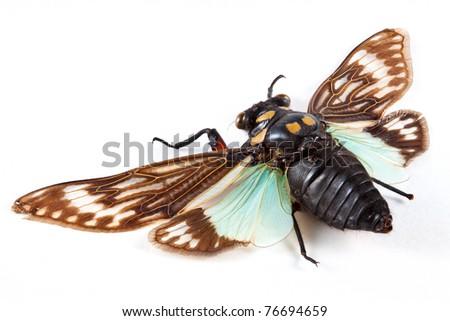 Cicada Isolated on White (Cicadicae Sp) - stock photo