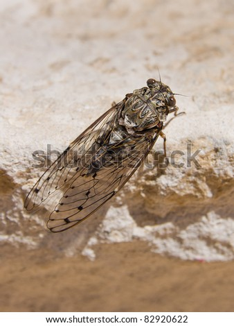 cicada on stone - stock photo