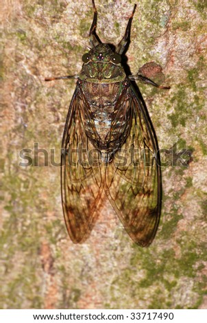 cicada rest on tree - stock photo