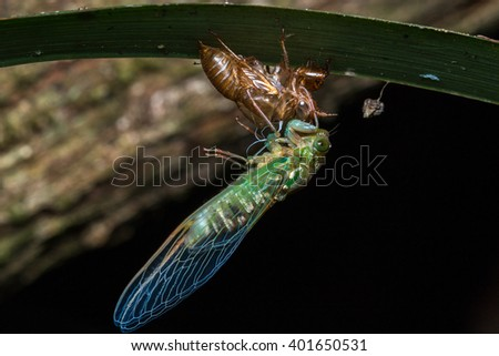 Cicada shedding its shell . A close-up emerging green Cicada. Image has grain or noise and soft focus when view at full resolution. (Shallow DOF, slight motion blur )