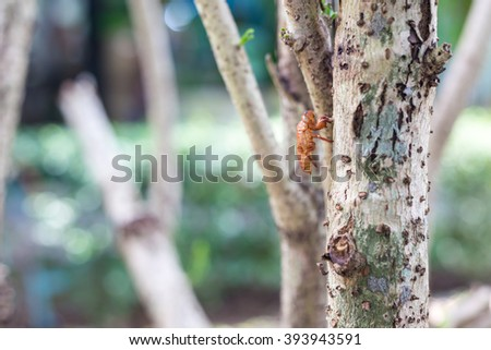 Cicada shell,Husk of cicada on tree