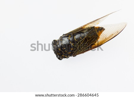 Cicadas with golden wings - stock photo