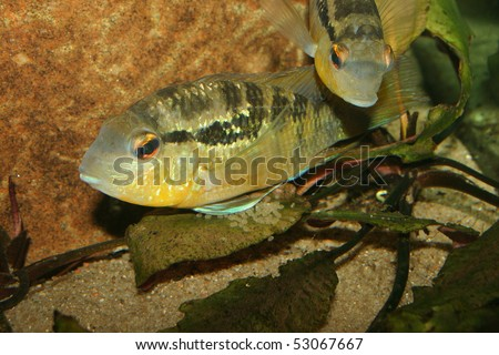 Cichlid (Bujurquina spec.) - Couple at the clutch