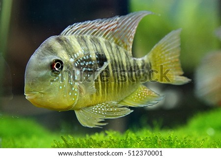 Cichlids are one of the largest vertebrate families in the world. They are most diverse in Africa and South America.