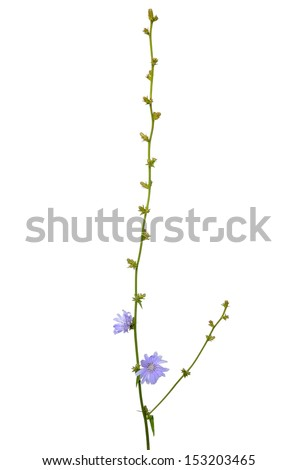 Cichorium flower isolated on a white background - stock photo