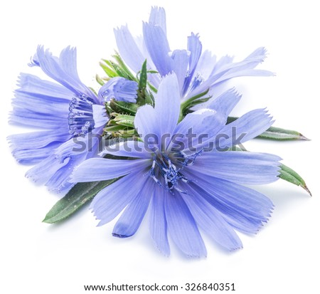 Cichorium intybus - common chicory flowers isolated on the white background. - stock photo