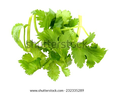 Cilantro leaves isolated white - stock photo