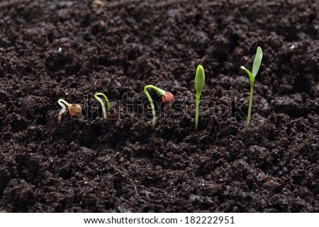 cilantro (parsley)  plant germination in different stages on land - stock photo