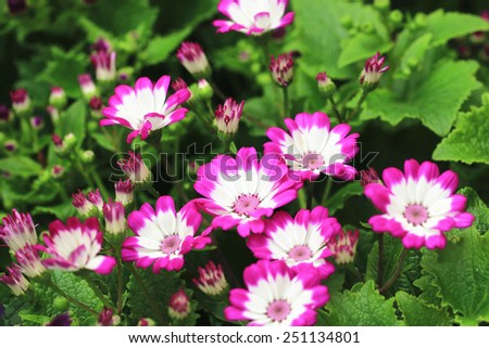 Cineraria flowers and buds,many beautiful peach with white cineraria flowers and buds blooming in the garden - stock photo
