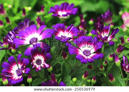 Cineraria flowers and buds,many beautiful purple with white cineraria flowers and buds blooming in the garden - stock photo
