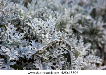 Silver Cineraria Stock Photos, Images, & Pictures - 120 Images