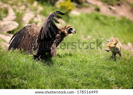 Cinereous (Eurasian Black) Vulture (Aegypius monachus) has a stand off with a Red Fox (vulpes vulpes) - stock photo