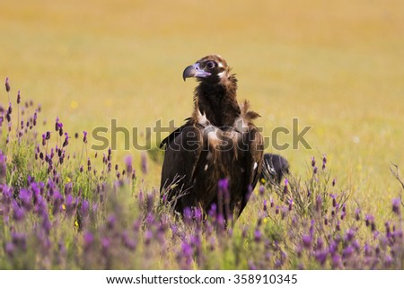 Cinereous Vulture Aegypius monachus - stock photo
