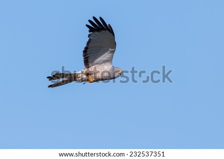 Cinereus Harrier (Circus cinereus) in flight with prey. Patagonia, Argentina, South America. - stock photo
