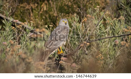 Cinereus Harrier (Circus cinereus) perched on a dead tree. Patagonia, Argentina, South America - stock photo
