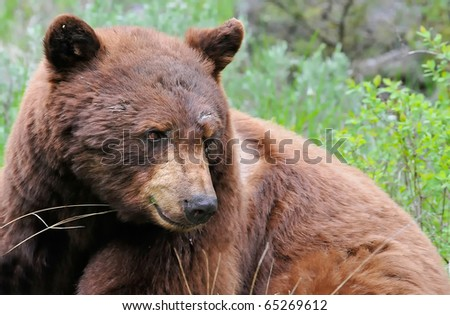 Cinnamon Black Bear in Yellowstone National Park - stock photo