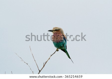 Cinnamon-chested bee-eater sitting on branch - stock photo