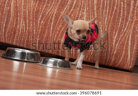 Cinnamon Chihuahua puppy dressed with pullover licking after  feeding granules at home, 4 months old female.  - stock photo