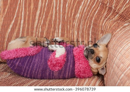 Cinnamon Chihuahua puppy dressed with pullover lying on her back on sofa, 4 months old female.  - stock photo