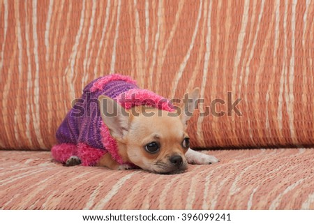 Cinnamon Chihuahua puppy dressed with pullover lying on sofa, 4 months old female.  - stock photo