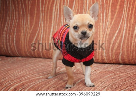 Cinnamon Chihuahua puppy dressed with pullover standing on sofa, 4 months old female.  - stock photo