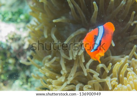 Cinnamon clownfish Amphiprion melanopus fire clownfish family angry attack